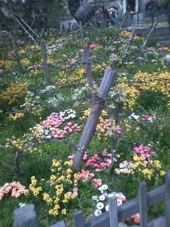 ザンビーニのブドウ畑