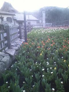 チューリップ八分咲き